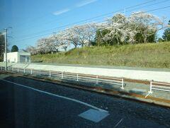 桜が咲く夜ノ森駅付近。