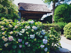 極楽寺まで来ました。 紫陽花が咲き始めてましたいました。