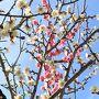 ~花物語~この春は我が家で桜観察♪ちょこっと、雪景色の白馬東急ホテルも('∀'r