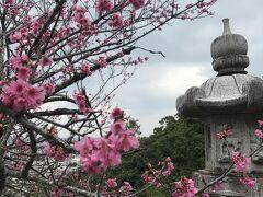 もう咲いているかな?と名護城公園へ。 「「琉球寒緋桜(りゅうきゅうかんひざくら)」なのでピンクが鮮やか。