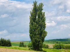 ケンとメリーの木  ポプラは数10年から100年で老木となり倒れやすくなるとのこと (ウイキより!)