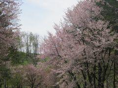で、全国的には既に忘れ去られているであろう桜前線。  令和二度目の和寒の桜を、仕事の合間を見計らって見物に出かけました。