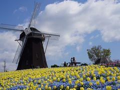 ●花博記念公園鶴見緑地  続いて、ガラリと変わり、黄色いチューリップ!