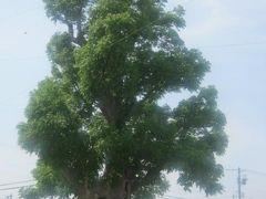 で、まずはこちらにご挨拶。 剣淵町の開拓の歴史を見守り続ける、立派な木なのです。  剣淵から分村した和寒町民にとっても、かけがえのない存在です。