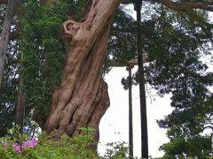 小田原市指定の天然記念物 イヌマキ 樹齢500年以上ともいわれている、ぐるぐると捩れたような幹が特徴のマキ科の樹木。