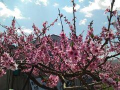 番外編で和歌山県紀の川市の「桃源郷」 あらかわの桃として関西では有名な場所