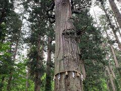 爺杉は、周りの若い杉と比べて貫禄あります。
