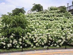 シンボルプロムナード公園の斜面にびっしり咲く白あじさいは圧巻です。
