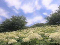 近年、権現堂を紫陽花の名所として知らしめているのは、土手の斜面一面に広がる白いアナベルの絨毯。