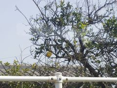 野田郷駅です。1個だけ実がなっていたのが気になったのですが、梨のように見えるが季節も違うし、やっぱり肥薩おれんじ鉄道だから柑橘類かな?