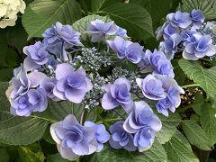 【としまえん】あじさい園・あじさい祭り 今回見た中で、お気に入りのあじさいです。 青紫色のグラデーションが、鮮やかです。