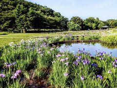 文句を言っても結局、北山公園にきて菖蒲を堪能するのですけどね。