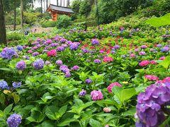 本堂からアジサイ園へやって来ました。 色とりどりのアジサイが瑞々しく咲いています。