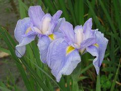 まだチラホラ咲いているくらいでした。 まあ、どれくらい咲いているかの下見なので 咲いてないのはわかってたけど、 けっこう短期間に、一気に咲くようですね。 5/15