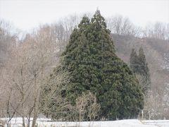 羽根沢温泉の手前にある小杉の大杉.通称トトロの木.普段の年なら雪で近づくことは出来ませんが今年はこの通り.