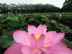 蓮の花が開花するのは朝6時ころまで。 園内は朝6時でもそこそこの混雑具合。