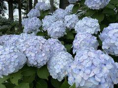【那須高原友愛の森】道の駅にて  キレイな紫陽花