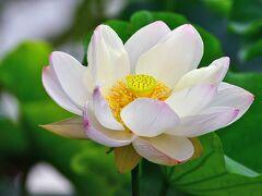 花3日めでしょうか。金色に輝く「雄しべ」です。 雄しべの内側に「花托(かたく)・雌しべ」があります。 花托・雌しべの色は、受粉するまでは雄しべと同じく金色です。 開花4日めです。 花びらが散りかけています。 受粉が終わり、雌しべが黒くなり花托が緑色に変わっています。 蓮池は弁天様の周り本堂近くの2か所にあります