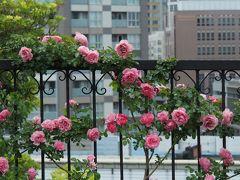 【2020/05/28】  1都3県の緊急事態宣言が明けて3日後。 横浜 山手にやってきました。  バラの最後に間に合うかな? アメリカ山公園ではツルバラを見れました。 「レオナルドダヴィンチ」という品種だとか。