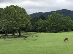 気持ち良さそうに草をはむ鹿たち。 鹿にとってはとても過ごし心地の良さそうな草原、飛火野園地。 勿論人間も入って行ける。