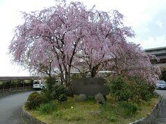 宿は雄琴温泉 里湯昔話 雄山荘。 入口の桜が綺麗です。