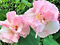 帰宅後の仕事は庭の花の水やりです。