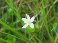 まず見つけたのがミツバオウレン。背の高い草木の陰に咲いているので、分かり難いです。そして花に見える白いものは咢で、黄色い半円状のものが花。