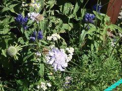 入笠湿原の花3種、エゾリンドウ、マツムシソウ、ヤマハハコ