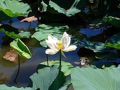 鶴岡八幡宮の源平池には蓮が沢山あり、蓮の花も咲いていました。