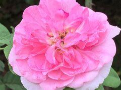 薔薇園は季節外れ