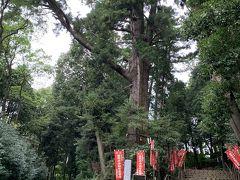 山門から入った所にある大杉。立派でした。