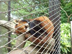 一匹だけで寂しそうなレッサーパンダ