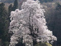 秋山の駒ザクラ