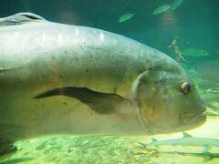 暑さから逃れるため「京大白浜水族館」へ来ました。 ココはめっちゃ涼しい!(^_^♪  入館料は600円でお得です。  入ると大きな水槽がありGTが! 美味しそう&釣りたい!!(笑)