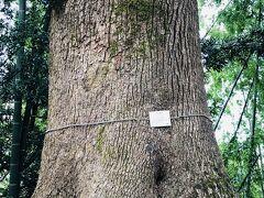 着きました。 クスノキ。保存樹木だって。樹齢何年なんだろ?