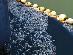 腐敗臭の原因は、これ・・・・金森倉庫のある港周辺には、大量の鯵の死骸