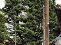 ヒマラヤ杉 台東区の景観重要樹木に指定されている樹木です。 ヒマラヤ杉はマツ科の常緑針葉樹で、先代の所有者が置いた鉢植えが根付いて現在の大きさになったものだそうです。