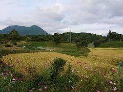 コスモスと稲田と向こうに見えるのが大洞山。あっ、お菓子処おかもとの椎茸羊羹に名付けられていた山ってこれのことだったか!
