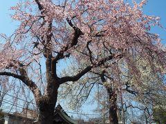 妙法寺の桜です。 ちょうど見ごろできれいでした。