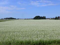 白い素朴な、そばの花が連続して続きます。