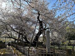 春日部、大宮で乗り換えて北本駅で下車後、バスで石戸蒲ザクラへ。