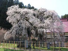 永泉寺の桜  樹齢400年のベニシダレザクラ
