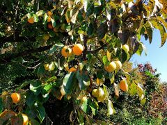 ぐるぐるした山道をナビを頼りにドライブ。 前回行けなかった吉祥寺を目指します。   http://www.kitijyouji.com/ いつ来てもお花がたくさんあって美しいお寺です。 コンパクトなので歩きやすいです。 入口には美味しそうな柿が(笑)
