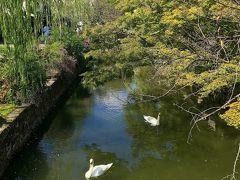 倉敷川には白鳥が2羽、気持ちよさそうに泳いでいます。 欧州ではよく見かける白鳥ですが、日本の川では珍しいですね。