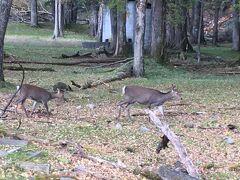 なんと野生の鹿親子に遭遇。 野生の鹿を見たのは宮島以来。