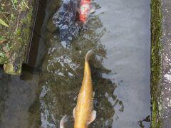なつかしの鯉で会えました。