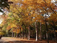 チェックインはまだ出来ないのでホテルに荷物を預け、北海道大学に行ってみます。 京王プラザホテルからは歩いて直ぐです。 大学の案内所で聞くと、今は銀杏並木の黄葉がちょうどいい時期だという事です。 途中の並木もいい感じで紅葉が始まっています。