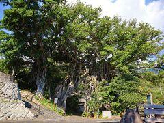 ガジュマルという樹  NHKドラマのまんてんのロケ地らしい。