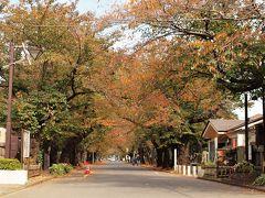 11月1日 谷中霊園の桜並木はおそまきながらうっすらと紅葉していました。