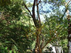 """あたかも一本の木のように見える""""この木何の木?"""" 百日紅の樹の途中から松が生えている。"""